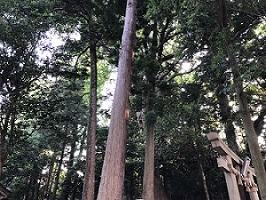 杉木立.jpg