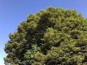 近所の巨木.jpg